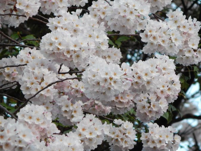 Mass of blossoms